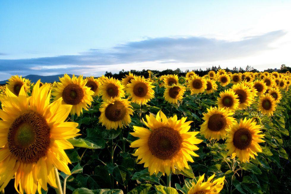 slunečnice van Gogh